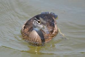 Wood Duck  23