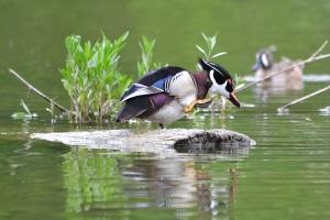 Wood Duck - male 03