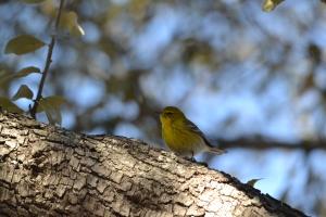 Yellow Warbler 04