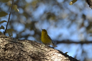 Yellow Warbler 05